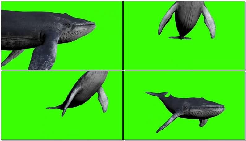 绿屏抠像游泳的蓝鲸.jpg