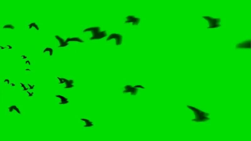 绿屏抠像飞行的鸟群.jpg