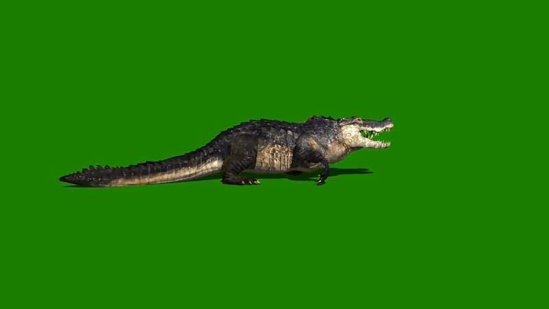 绿屏抠像爬行的野生鳄鱼.jpg