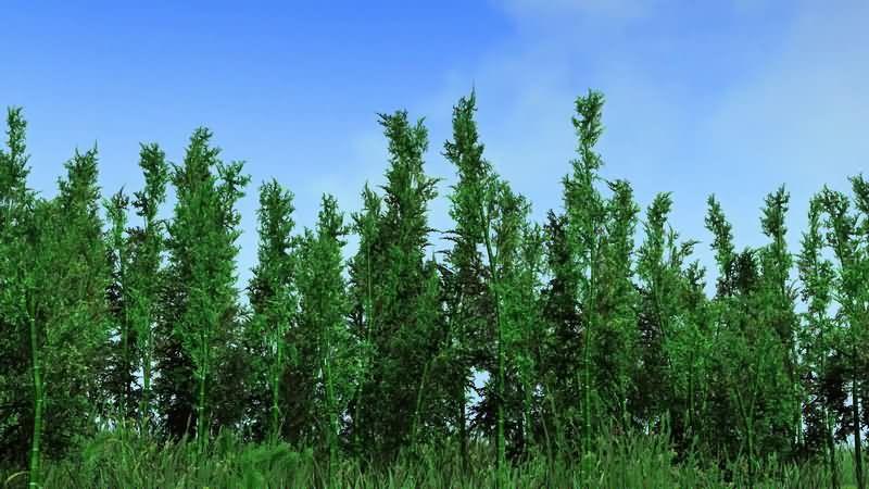 蓝天白云被风吹动的竹子林.jpg