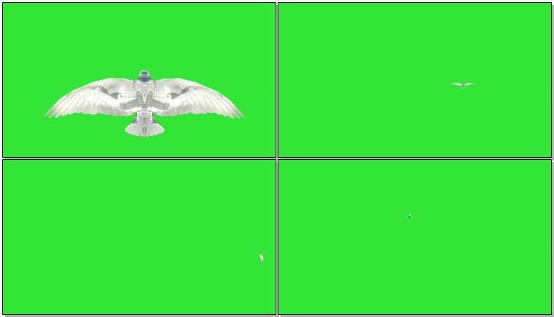 绿屏抠像飞翔的白色鸽子.jpg