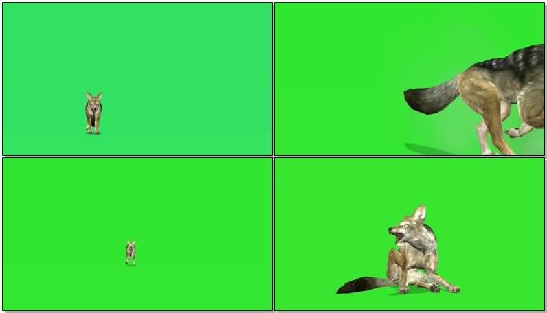 绿屏抠像奔跑的豺.jpg