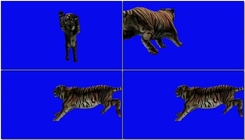 蓝屏抠像捕猎的老虎.jpg