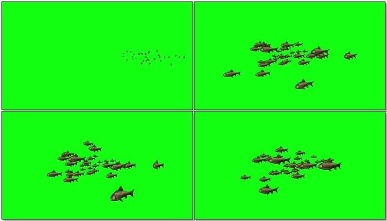 绿屏抠像游动的鱼群.jpg