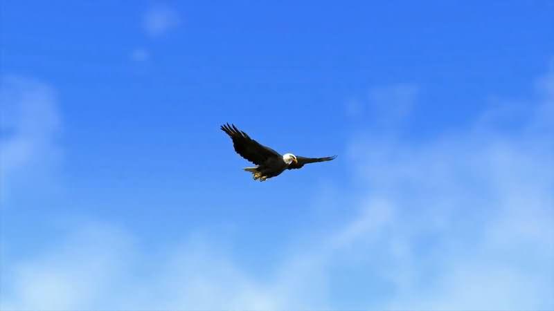 蓝色的天空中一只飞翔的老鹰.jpg