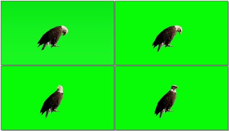 绿屏抠像栖息的老鹰.jpg