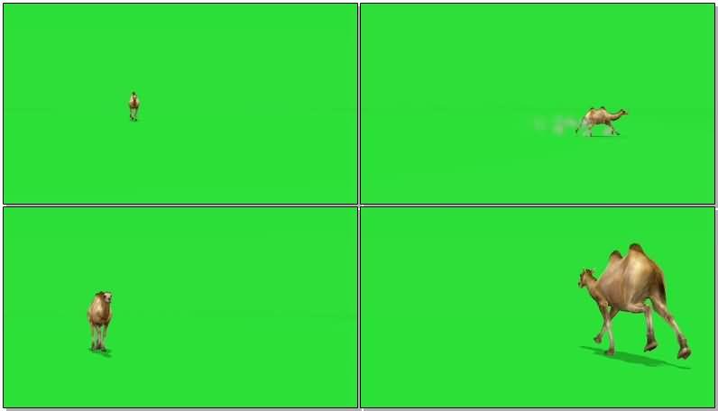 绿屏抠像奔跑的骆驼.jpg