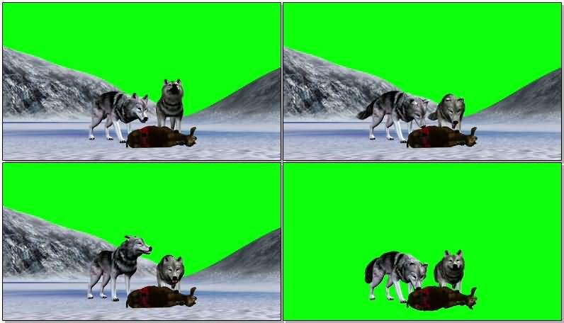 绿屏抠像猎食的狼.jpg