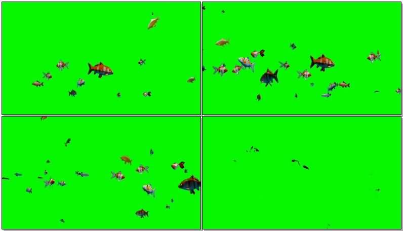 绿屏抠像游动的观赏鱼群.jpg
