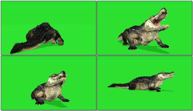 绿屏抠像爬行的鳄鱼.jpg