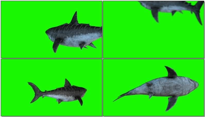 绿屏抠像流动的史前狂鲨.jpg
