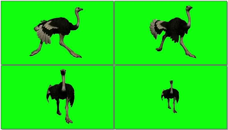 绿屏抠像奔跑的鸵鸟.jpg