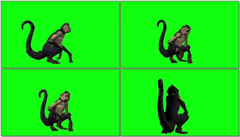 绿屏抠像休息的猴子.jpg