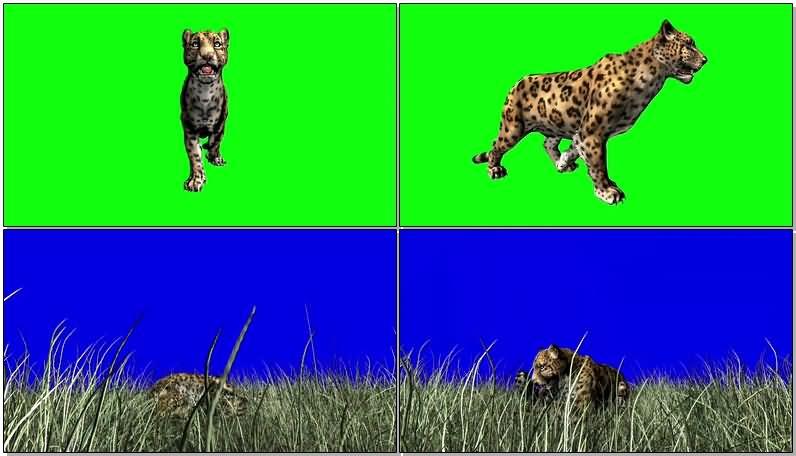 绿屏抠像行走的花豹.jpg