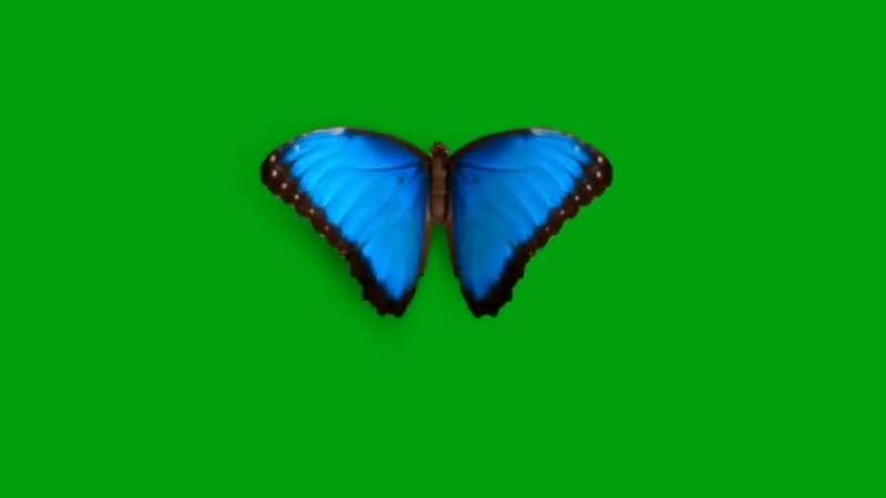 绿屏抠像蓝色蝴蝶.jpg