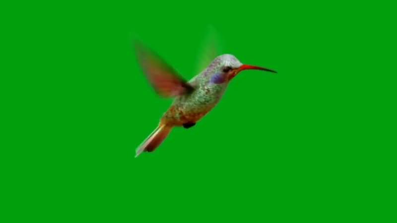 绿屏抠像飞行的蜂鸟.jpg