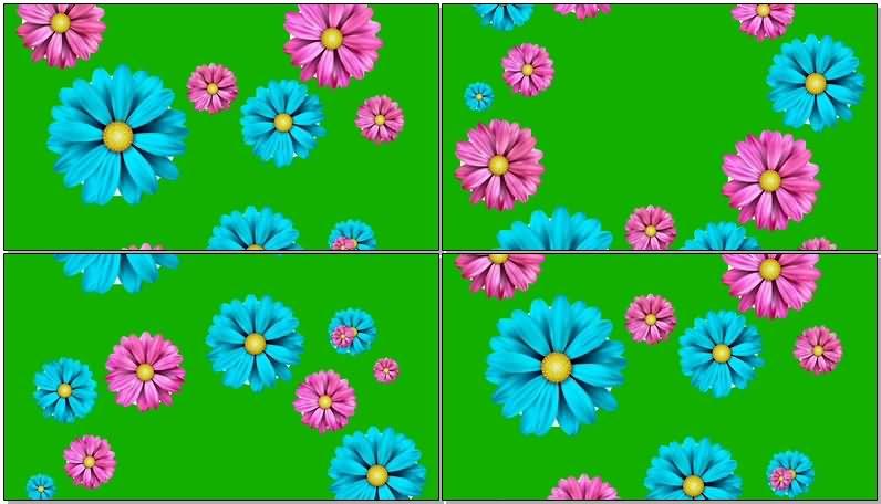 绿屏抠像飘落的彩色菊花.jpg