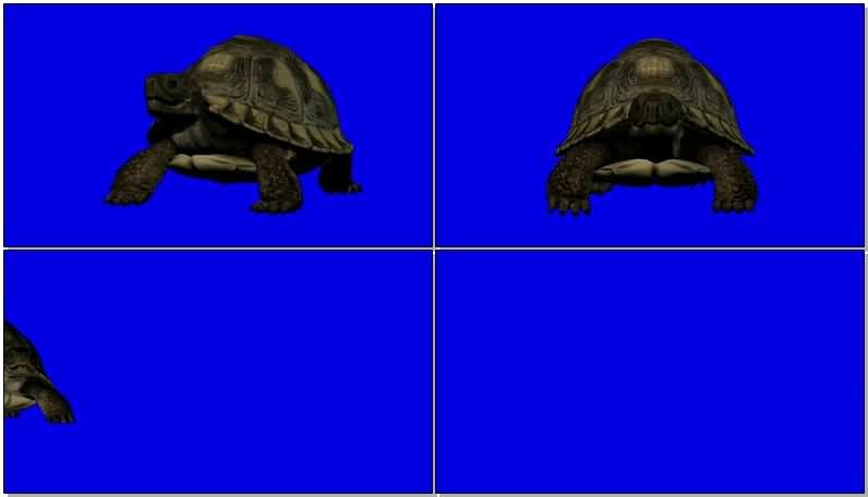 绿屏抠像爬行的海龟.jpg