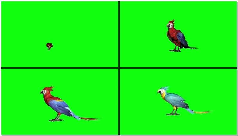 绿屏抠像彩色鹦鹉.jpg