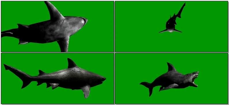 绿屏抠像巨齿鲨鱼.jpg