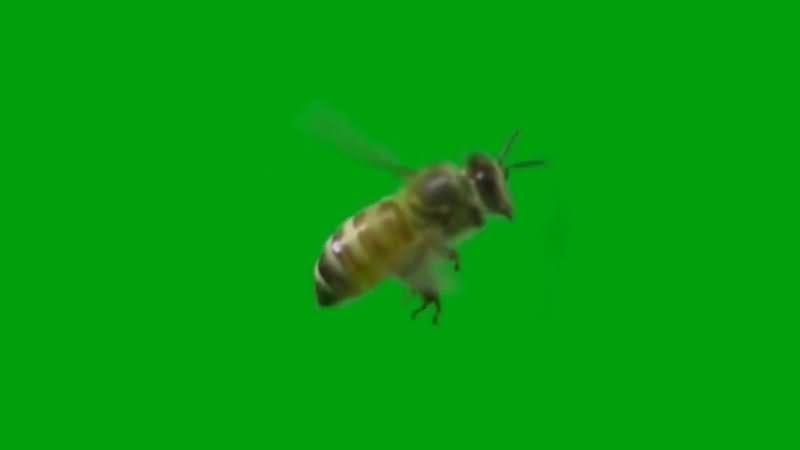 绿屏抠像飞行的蜜蜂视频素材