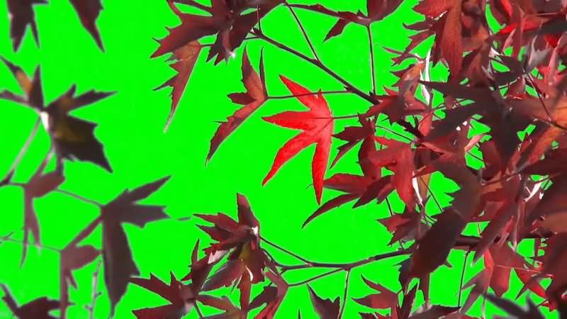 绿屏抠像红色枫叶.jpg