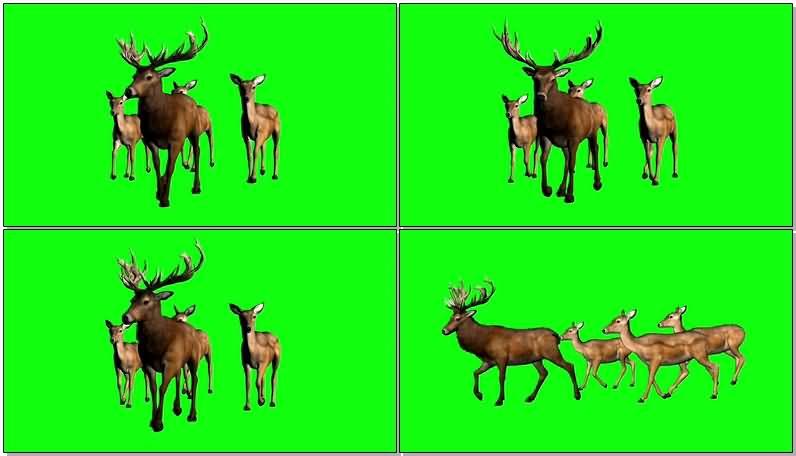 绿屏抠像公鹿和母鹿.jpg