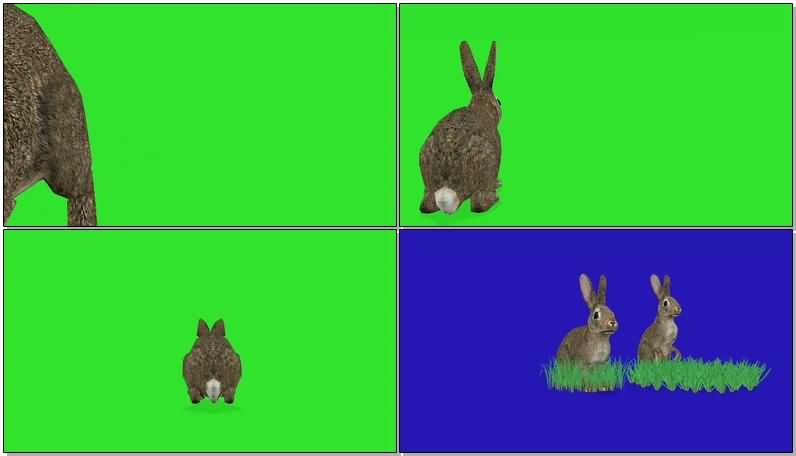 绿屏抠像灰色野兔.jpg