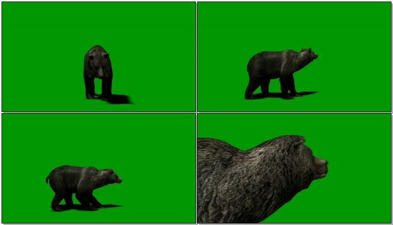 绿屏抠像灰熊.jpg