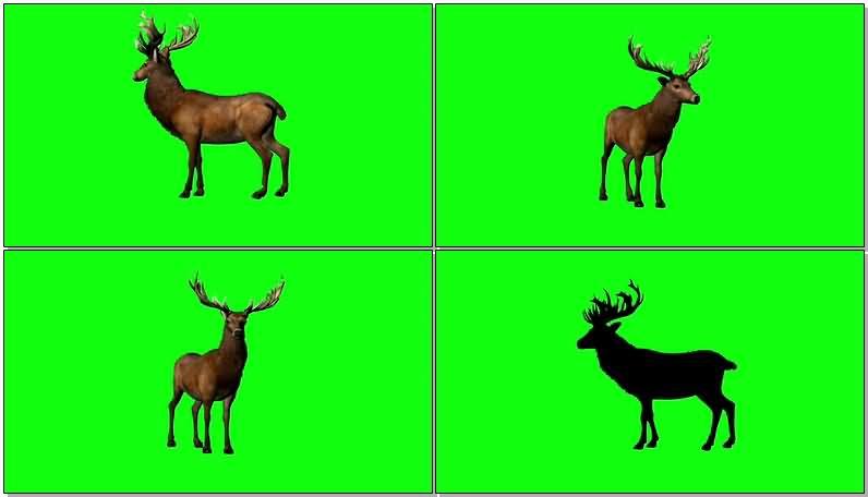 绿屏抠像雄鹿.jpg