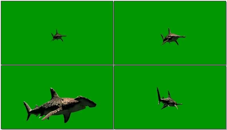 绿屏抠像游动的锤头鲨.jpg
