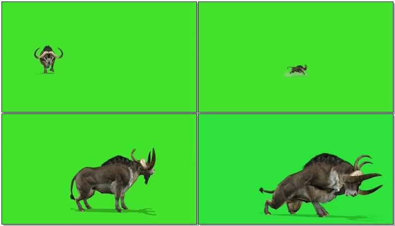 绿屏抠像战斗的水牛.jpg