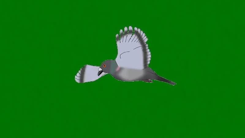 绿屏抠像飞行的鸽子.jpg