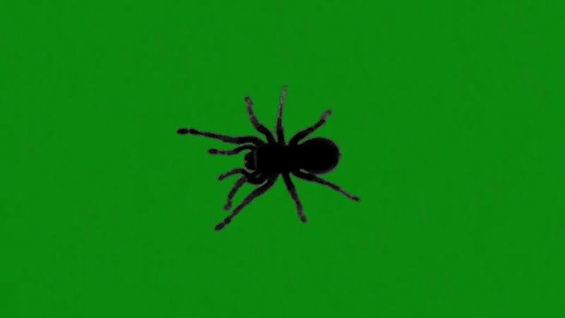 绿屏抠像爬行的黑蜘蛛.jpg