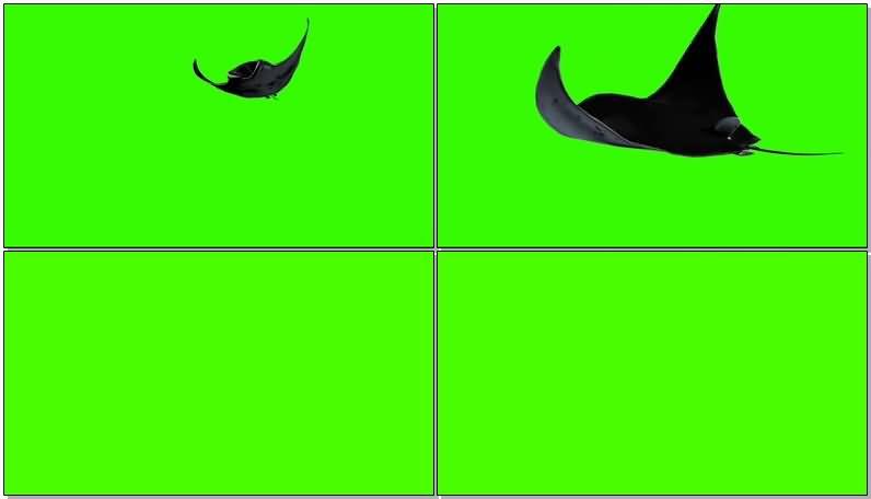 绿屏抠像游动的魔鬼蝠鲼鱼.jpg