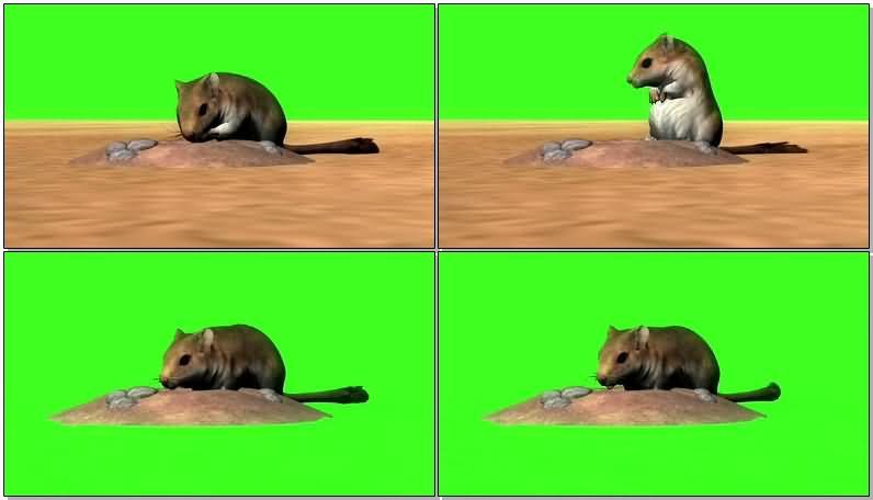 绿屏抠像挖洞的沙滩鼠.jpg