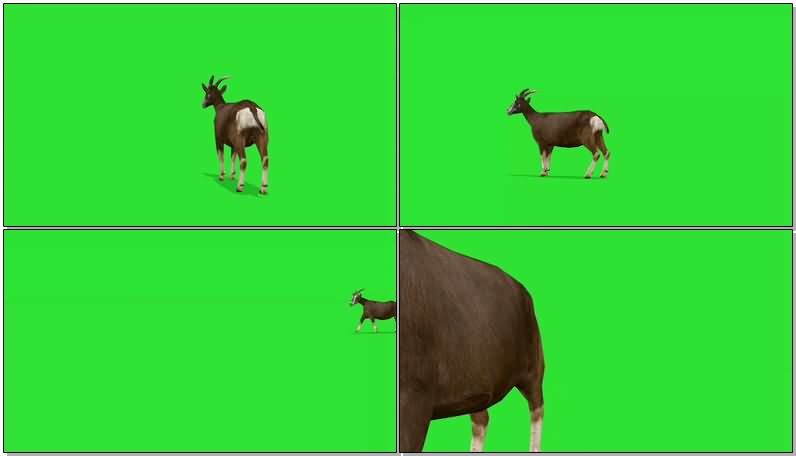 绿屏抠像奔跑的山羊.jpg