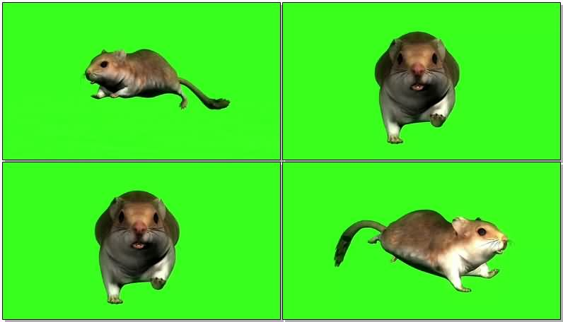 绿屏抠像奔跑的仓鼠.jpg