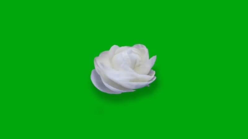绿屏抠像白色玫瑰花.jpg