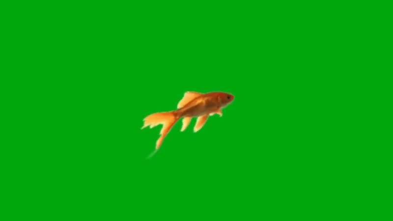 绿屏抠像游动的金鱼.jpg