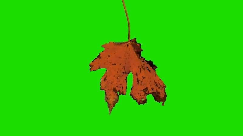绿屏抠像即将掉落的树叶.jpg