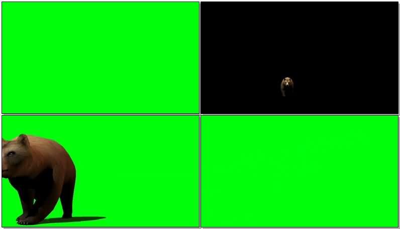 绿屏抠像行走的灰熊.jpg