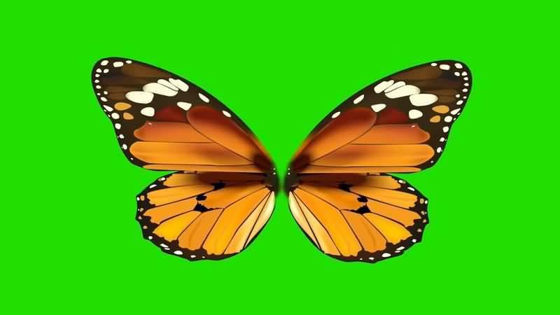 绿屏抠像美丽的蝴蝶.jpg