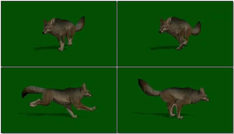 绿屏抠像奔跑的丛林狼.jpg