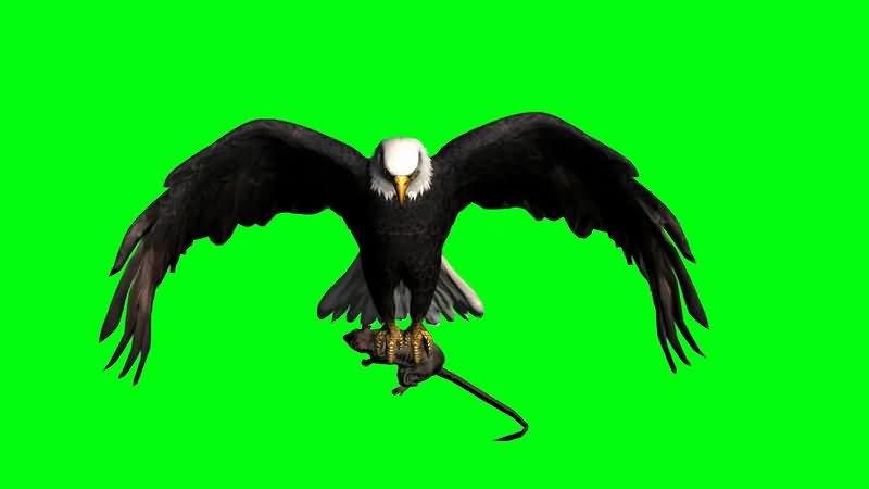 绿屏抠像抓田鼠的老鹰.jpg