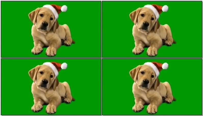 绿屏抠像带圣诞帽的金毛狗.jpg