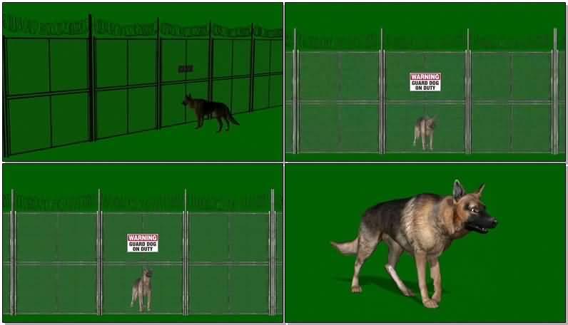 绿屏抠像看门的狼狗.jpg
