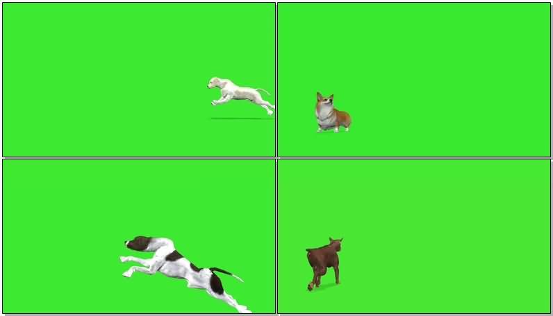 绿屏抠像各种狗狗犬类.jpg
