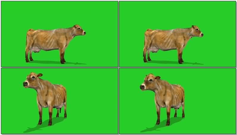绿屏抠像母牛奶牛.jpg