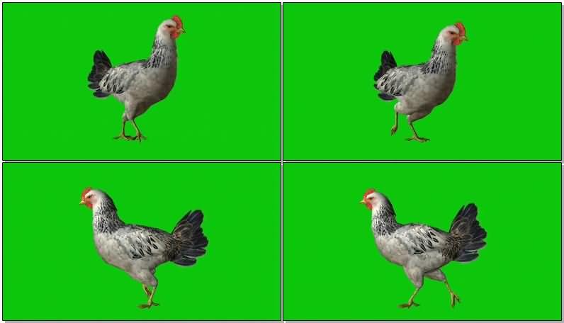 绿屏抠像下蛋的母鸡.jpg